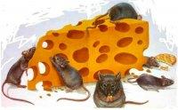 Мыши очень любят сыр